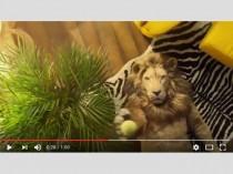 Le lion, un animal qui sait se relaxer pour être ...
