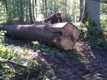 60 chênes sortis du bois permettront la ...